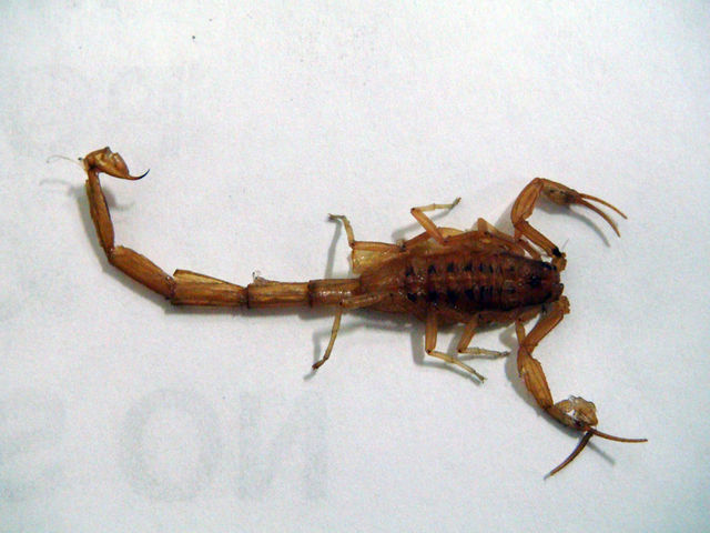 Scorpions: unwelcome in the pants of the right-minded