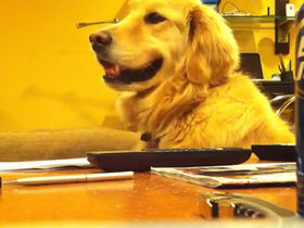 VIDEO: Golden retriever loves guitar!